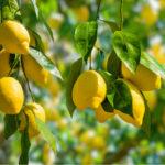 Les principales maladies du citronnier