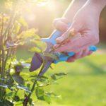 Conseils pour bien tailler les rosiers remontants