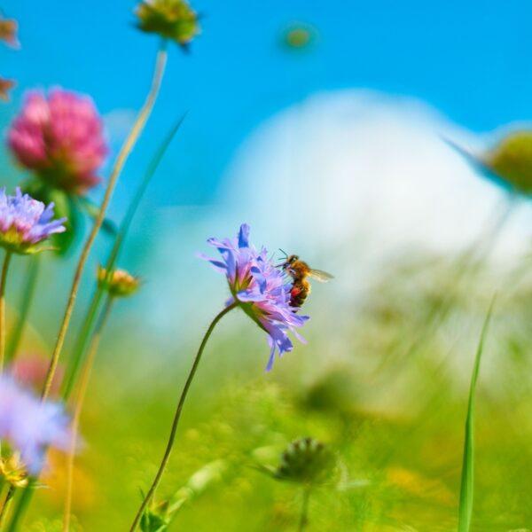 Top5 des fleurs qui attirent les abeilles